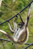 Brown spider monkey. The brown spider monkey on the ropes Royalty Free Stock Photo