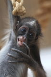 Brown spider monkey Royalty Free Stock Image