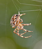 BROWN SPIDER. MULTICOLORED SPIDER WEAVING A SILK WEB Stock Images