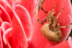 Brown spider in pink background Royalty Free Stock Image