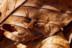 Brown spider sits on the old leaf. Predator brown spider sits on a single leaf lurking on a victim Royalty Free Stock Image