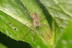 Brown spider sitting on a leaf. Brown spider sitting on a green leaf Stock Image