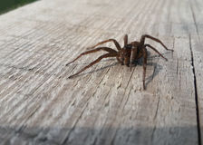 Brown spider on wood Stock Photos
