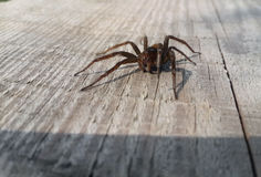 Brown spider at wood Royalty Free Stock Photos