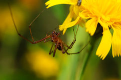 Brown spider on a yellow flower. Brown spider is sitting on a yellow flower. The background is blurred Royalty Free Stock Image