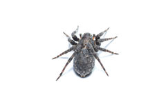 Brown  spiders Royalty Free Stock Image