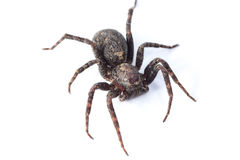 Brown  spiders Royalty Free Stock Photo