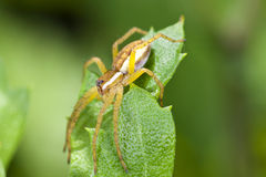 Brown-Spinne stockfoto