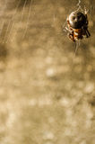 Brown-Spinne Stockbilder