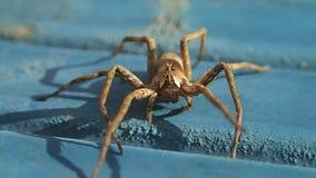 Brown-Spinne auf Blau stock video