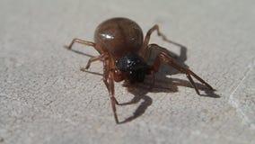 Brown-Spinne, die seine Mundstücke und Verlassen bewegt stock video