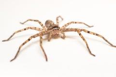 Brown-Spinne lokalisiert auf weißer Hintergrundnahaufnahme Lizenzfreies Stockbild