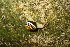 Brown spiral shell snail on a lichen stone. A single brown spiral shell snail on a green lichen stone Royalty Free Stock Photo