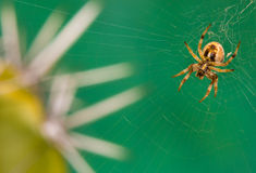 Brown splendido e Amber Spider Immagine Stock Libera da Diritti
