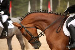 Brown sport horse portrait during dressage test Royalty Free Stock Photography