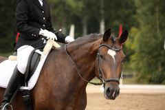 Brown sport horse portrait during dressage test Royalty Free Stock Photos