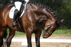 Brown sport horse portrait during dressage test Stock Image