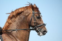 Brown sport horse portrait during show Royalty Free Stock Image