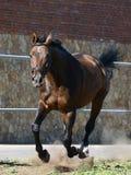 Brown sporta koń na cwale w wolności Frontowy widok zdjęcie royalty free