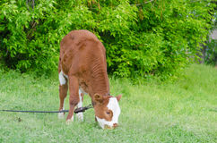 Brown spotted bull among fresh green grass. Brown spotted bull among green grass Stock Photos