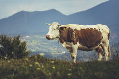 Brown spotted cow Royalty Free Stock Image
