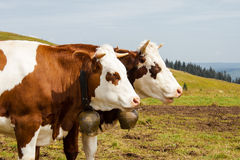 Brown spotted cows in the black forest germany. Two brown spotted cows in the black forest germany Stock Image