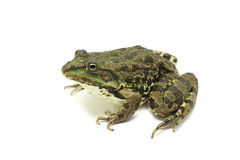 Brown spotted frog Stock Photography