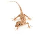 Brown spotted gecko reptile. On white, view from above stock images