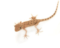Brown spotted gecko reptile. Isolated on white, view from above royalty free stock photography