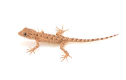 Brown spotted gecko reptile. Isolated on white, view from above stock images