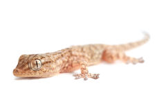 Brown spotted gecko reptile isolated. On white, front view stock photography