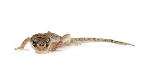 Brown spotted gecko reptile isolated. On white background royalty free stock image