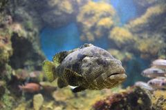 Brown spotted grouper Stock Photos