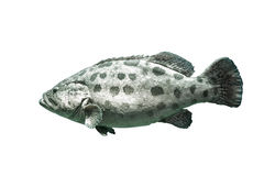 Brown spotted grouper royalty free stock photos