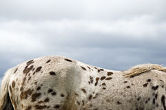 A brown spotted horse Royalty Free Stock Image