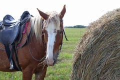 Brown spotted horse eating hay, standing next to a stack Stock Image