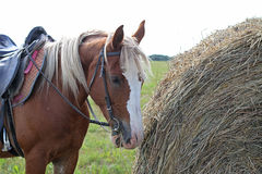 Brown spotted horse eating hay, standing next to a stack Stock Photo