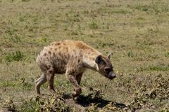 Brown Spotted Hyena stock photos