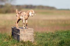 Brown spotted nice little goatling standing on a concrete block. Like a statue stock image