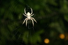 Brown Spotted Orbweaver Spider in Intricate Web #2 Royalty Free Stock Image
