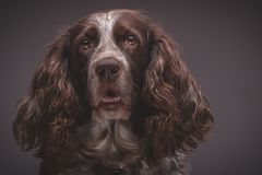 Brown spotted Russian cocker spaniel, blurred background. Portrait of brown spotted Russian cocker spaniel, blurred background royalty free stock photography
