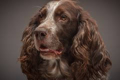 Brown spotted Russian cocker spaniel, blurred background. Portrait of brown spotted Russian cocker spaniel, blurred background stock photography