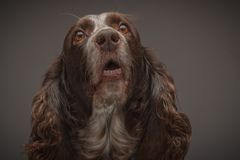 Brown spotted Russian cocker spaniel, blurred background. Portrait of brown spotted Russian cocker spaniel, blurred background stock image