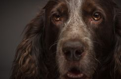 Brown spotted Russian cocker spaniel, blurred background. Portrait of brown spotted Russian cocker spaniel, blurred background stock photos