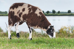 Brown spotted sheep  grazing on top of a dike Royalty Free Stock Image