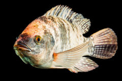 Brown Spotted Tilapia Fish Royalty Free Stock Photo