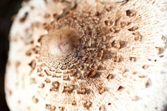 Brown spotted toadstool close view Royalty Free Stock Photo