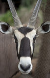 Brown springbok from africa Royalty Free Stock Images