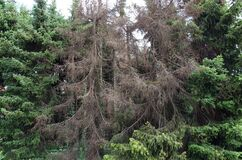 Free Brown Spruces After They Are Attacked By The Bark Beetle Royalty Free Stock Images - 186523159