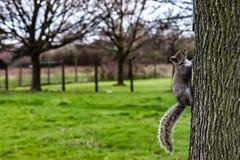Brown squirel climbing up a tree. Brown squirrel climbing up a tree towards top branch with speed Stock Photos